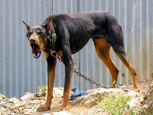 fb383165a7d380653ddfcdc18831855d--doberman-pinscher-dobermans
